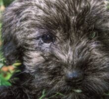 Schnoodle Puppy Sticker