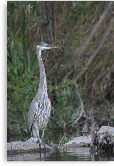 Great Blue Heron on the Milwaukee River by Thomas Murphy