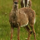 Deer Say's Hello by Thomas Murphy