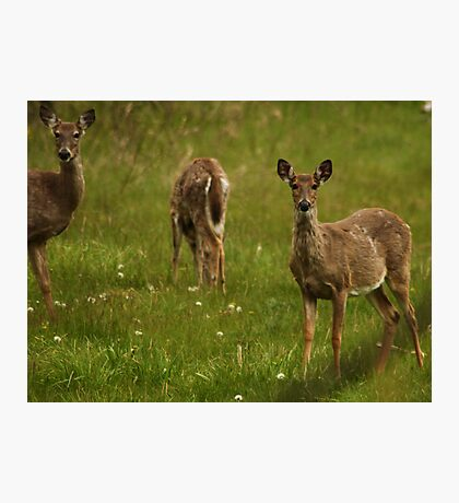 Three Deer Photographic Print