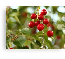 Cherries on the Cherry Tree Canvas Print