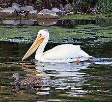 American White Pelican by Jimmy Taylor