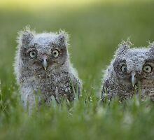 Screech Owlets by Adrian Olivera