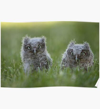 Screech Owlets Poster