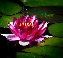 Pink Water Lily  by Saija  Lehtonen