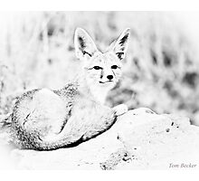 laying fox Photographic Print