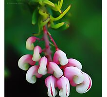Red grevillea Photographic Print