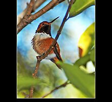 Rufous Hummingbird II - - Posters & More by Maria A. Barnowl