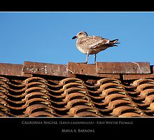California Seagull - - Posters & More by Maria A. Barnowl