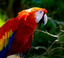 Scarlet Macaw - - Cards & iPad Cases by Maria A. Barnowl