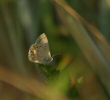 Holly blue butterfly by miradorpictures