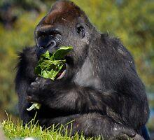 Gorilla at Werribee Open Range Zoo by Penny Lewis