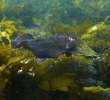 Cruising cuttlefish, O'Sullivan Beach Reef, South Australia by Dan & Emma Monceaux
