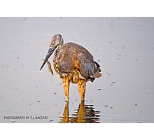 Juvenile Reddish Egret  Grabs Shrimp Cocktail for Breakfast Photographic Print