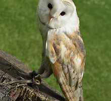 BARN OWL by picturesfrary