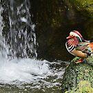 Mandarin Duck by Anton Gorlin