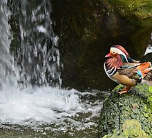 Mandarin Duck by Anton Gorlin