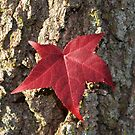 Red Fall Leaf in the Bark by 319media