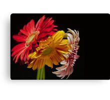 colorful gerbera Canvas Print