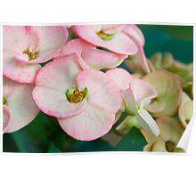 Pink Euphorbia-Balinese Beauties Poster