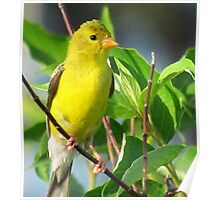 Prairie Canary Poster