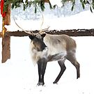 Reindeer for Christmas. by vette