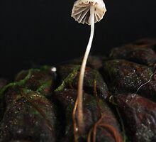 Mycena on pinecone. by Esther's Art and Photography