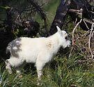 Mountain goat baby by zumi