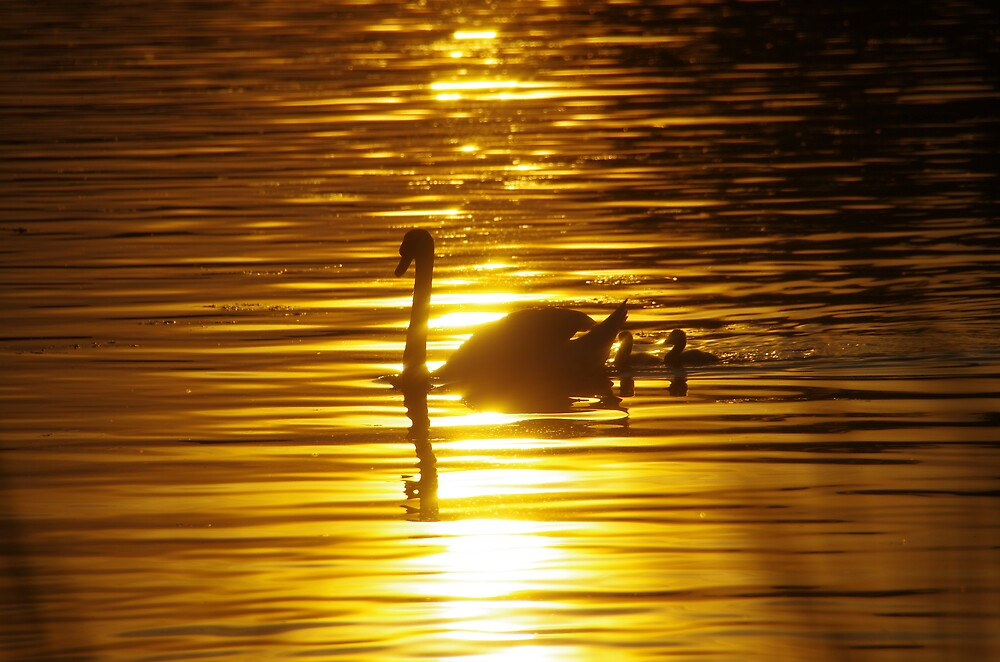 Swans at Sunset by Bill  Watson