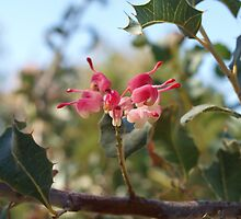 Grevillea insignis in the Park by kalaryder