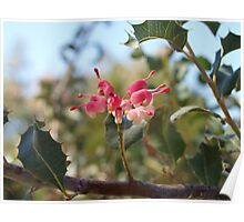 Grevillea insignis in the Park Poster