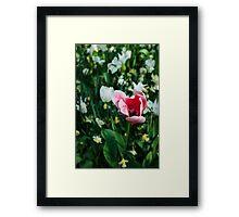 Pink Tulip @ Keukenhof Framed Print