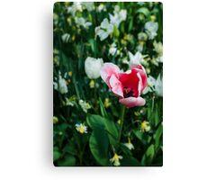 Pink Tulip @ Keukenhof Canvas Print