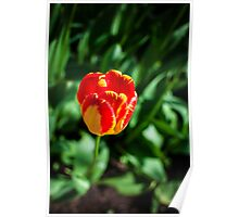 Red & Yellow Tulip @ Keukenhof Poster