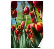 Red / Yellow Tulips @ Keukenhof Poster