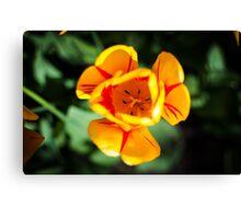 Yellow Tulip @ Keukenhof Canvas Print