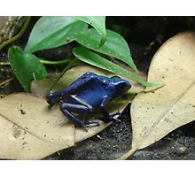 """Blue Dart Frog""  by Carter L. Shepard Photographic Print"