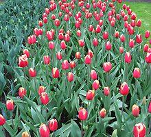 Two-Tone Tulips - Keukenhof Gardens by Kathryn Jones