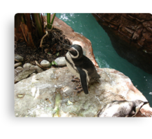 """Black Footed Penguin 1""  by Carter L. Shepard Canvas Print"
