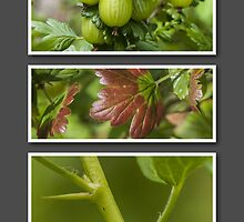 Gooseberry by John Hallett
