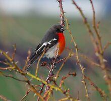 Scarlet Robin on a bramble by Traffordphotos