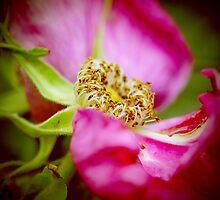 Wild Rose by RosiLorz