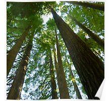 Sequoia Sempervirens 1938 Otway Ranges 1 Poster