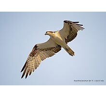 Osprey Fly By Photographic Print
