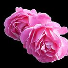 Pretty-in-Pink Roses on Black Background by SunriseRose