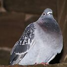 Proud Pigeon by Rland