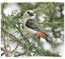 White-headed Buffalo-Weaver Poster