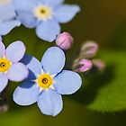 Forget Me Not by RBarrettPhoto