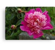 pink peony and 2 buds Canvas Print