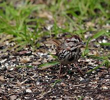 Song Sparrow by Larry Trupp